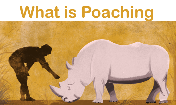 essay on poaching 1